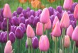 گل لاله (10)